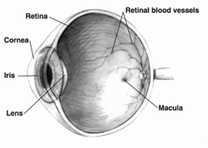 A section of an eyeball with scientific labeling